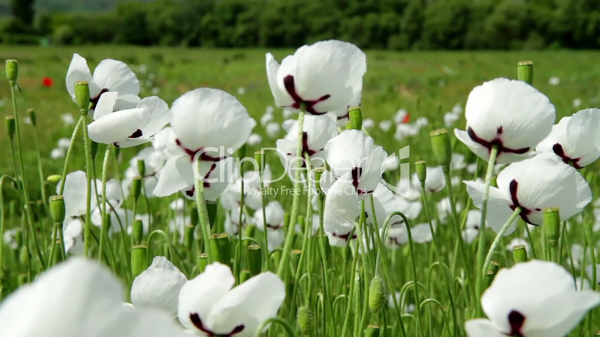 White poppy flowers closeup royalty free video and stock footage flower mightylinksfo