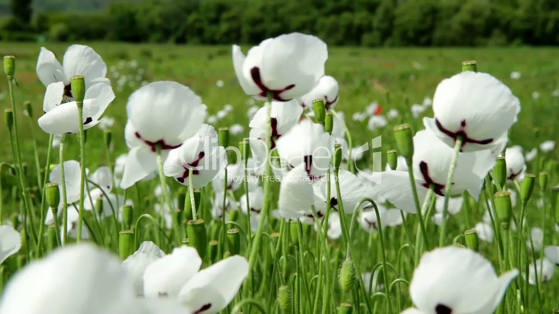 White Poppy Flowers Closeup Royalty Free Video And Stock Footage