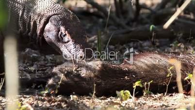 Victim of Komodo Dragon.