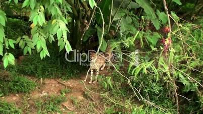 Wild Cheetah at safari park.