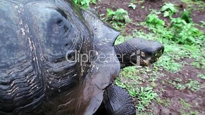 giant tortoises. Galapagos