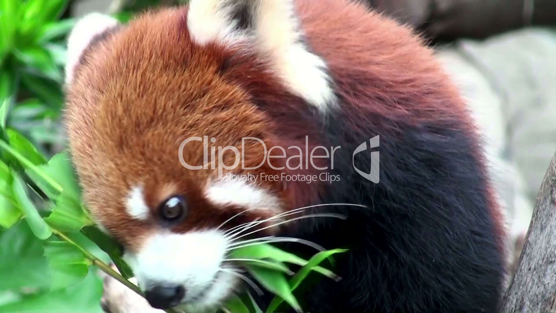 Red panda eating bamboo: Royalty-free video and stock footage