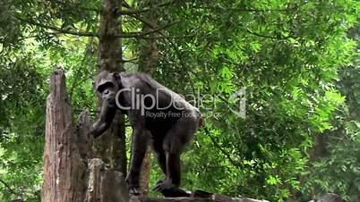 Black chimpanzee ( Bonobo)