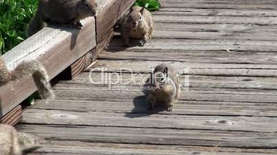 A flock of wild squirrels on a wooden platform at California seacoast