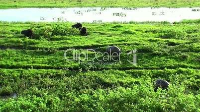 wild capybara. Venezuela