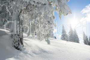 sunshine and pine tree