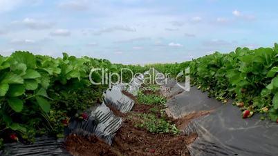 Farm of strawberries