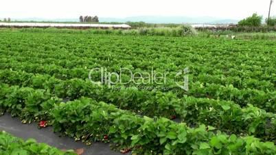 Strawberries at garden beds