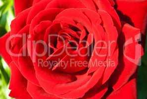 burgundy rose in the garden closeup