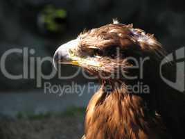 eagle in the city zoo