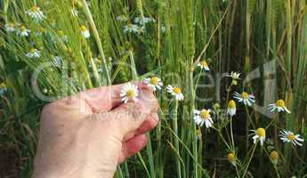 Blumen in einem Getreidefeld