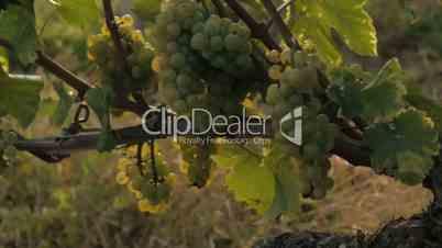 vineyard - dolly