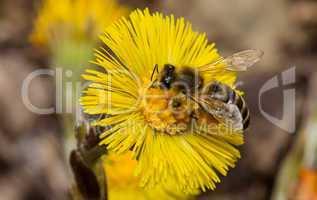 Huflattich und Honigbiene