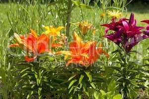 Wunderschöne verschiedenfarbige Lilien im Garten