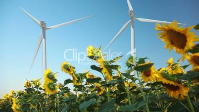 Sunflowers and wind power