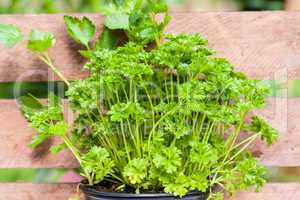 Petersilie, parsley
