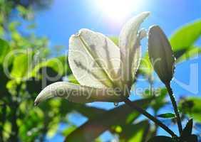 weiße Lilie mit Wassertropfen