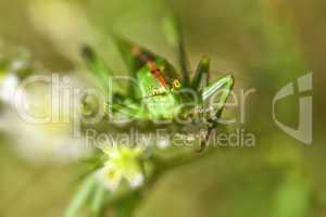Grüne Heupferd - Tettigonia viridissima - Weiße Steinklee