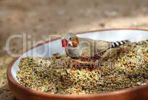 Zebrafink mitten im Futternapf bei der Nahrungsaufnahme