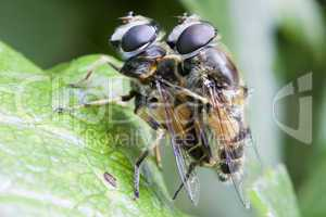 Schwebfliegen - Paarung