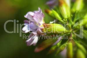 Gewöhnliche Seifenkraut - Saponaria officinalis