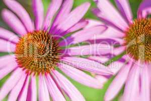 Echinacea purpurea, Heilpflanze