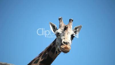 Closeup portrait of a giraffe against blue sky