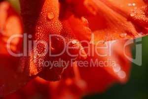 Garten-Gladiole - Blüte - Wassertropfen