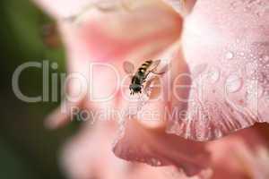 Gladiolenblüte mit einer Schwebfliege