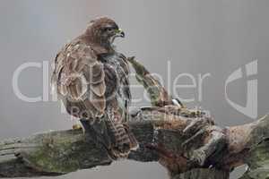 Mäusebussard (Buteo buteo); Common Buzzard (Buteo buteo)