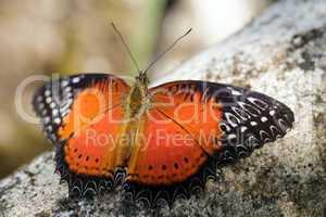 tropicales papillon