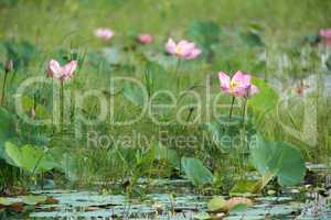 lotus flower meadow