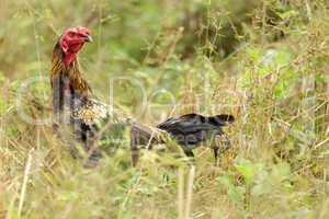 Hen in meadow