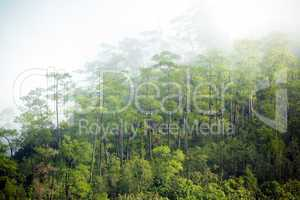 Fog in tropical pine forest