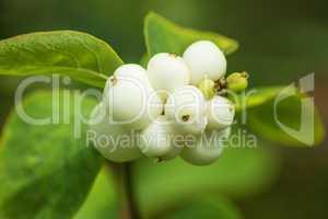 Früchte der Gewöhnlichen Schneebeere