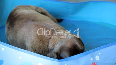 Brown labrador lying in the water