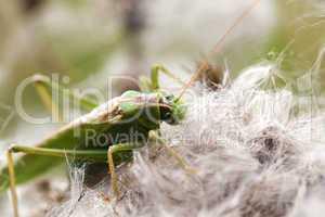 Grüne Heupferd - Tettigonia viridissima - Aufsicht