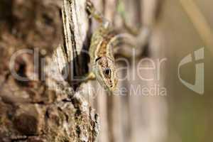 Waldeidechse - Zootoca-vivipara