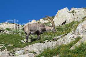 Grazing alpine ibex