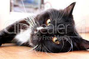 black cat lying on the floor
