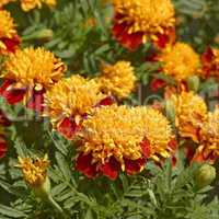 marigold flowers in flowerbed