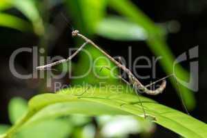 Stick praying mantis