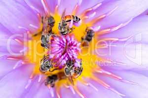 Bees in waterlily