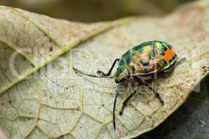 Jewel beetle larva