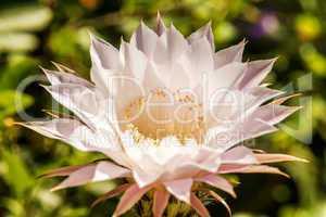 blühender Echinopsis eyriesii