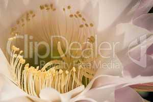 Blütenkelchs eines Echinopsis eyriesii