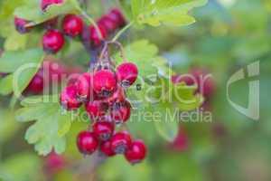 Weißdorn, Früchte