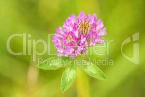 Rotklee, Trifolium pratense moderne Heilpflanze