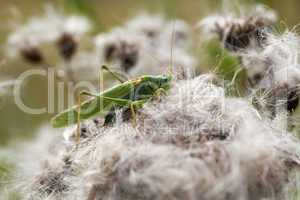 Grüne Heupferd - Tettigonia viridissima