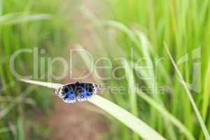 papillon sur les herbe